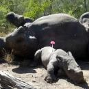 Baby rhinoceros watches over mother who was killed for horn