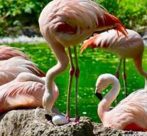 18 flamingos died by storm
