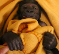 24-hour care for baby gorilla