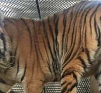 Anonymous weed smoker finds tiger in the home