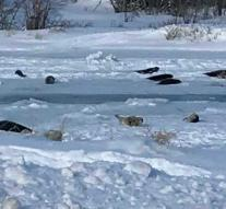 Canadian island 'flooded' with stranded seals