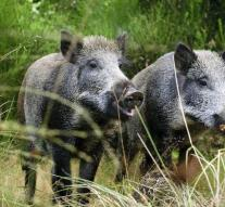 Denmark is going to keep boar with fence