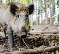 Elderly German slaughter boar at supermarket