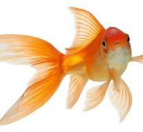 Hotel hires goldfish for lonely guests