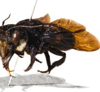 Largest bee seen again after almost 40 years