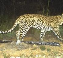 Leopard at Kathmandu airport hunting backpackers to scare