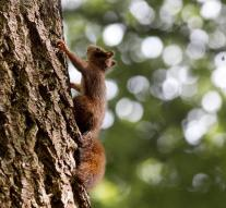 Leprosy-squirrels in Britain