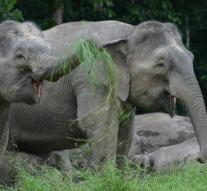 Malaysia is investigating mortality of dwarf elephants