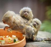 Men steal dwarf marmoset from zoo