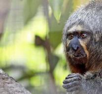 Monkey throws high eyes with a 'muscular' display