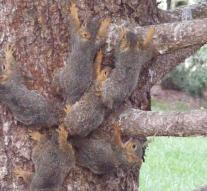 Six squirrels that were attached to each other with tails