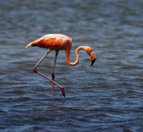 Sixty red flamingos seized at Schiphol