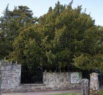 Stick Ancient yew appears transgender