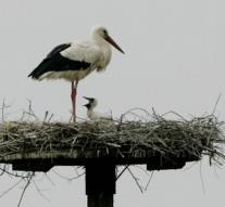 Storks overwinter often in Germany
