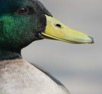 The world's most lonely duck is no longer