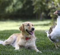 This goose and dog are inseparable (photos)