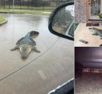 'Thousands of alligators roam Houston after hurricane Harvey'