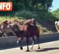Unleashed camels on Belgian ring road