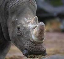 White rhinoceros pregnant in zoo