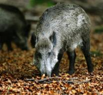 Wild boar causes three accidents